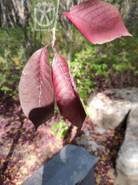 Padus racemosa