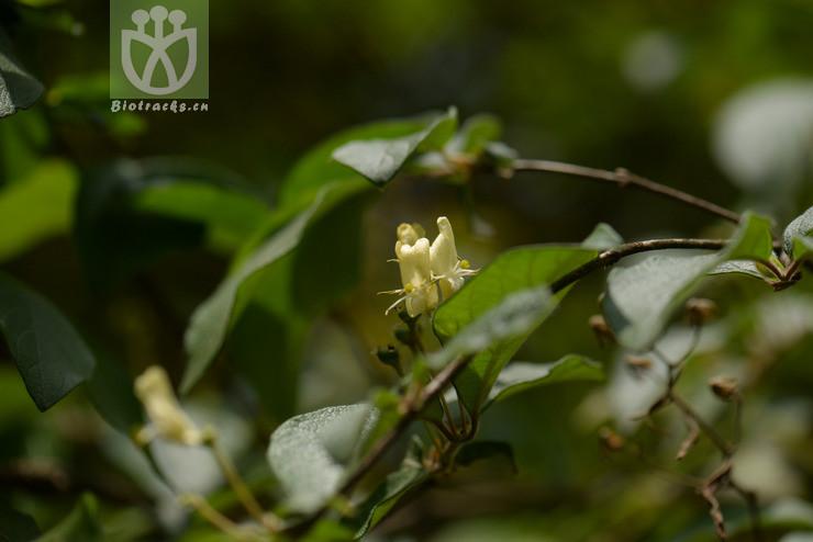Lonicera chrysantha subsp. koehneana