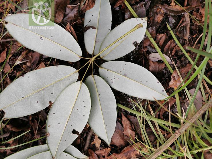 Acer hilaense