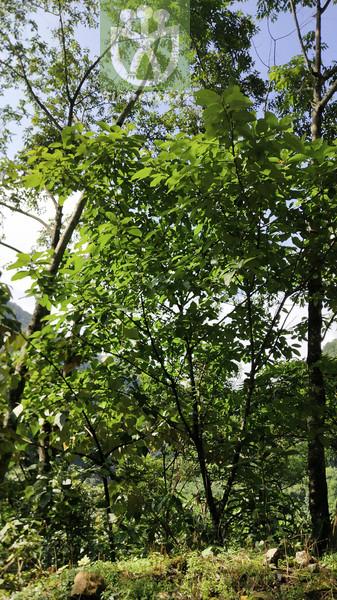 Fortunearia sinensis