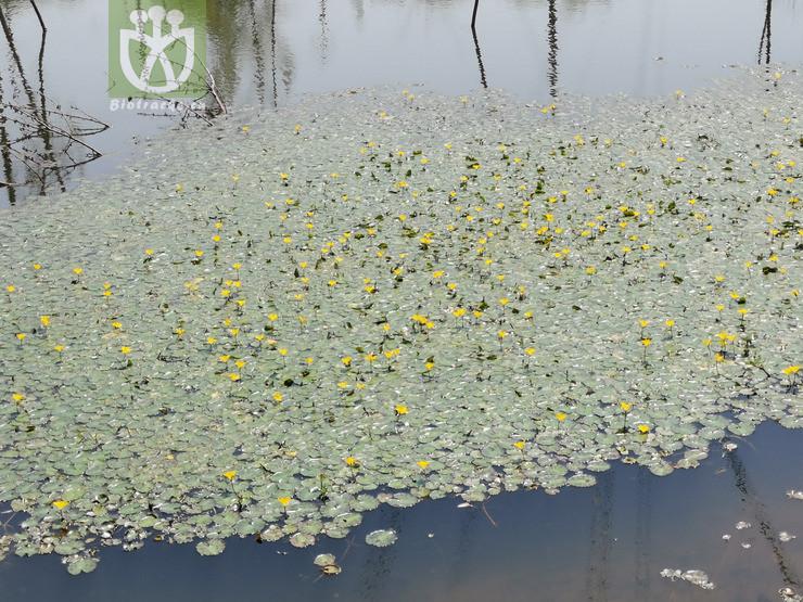 Limnanthemum peltatum