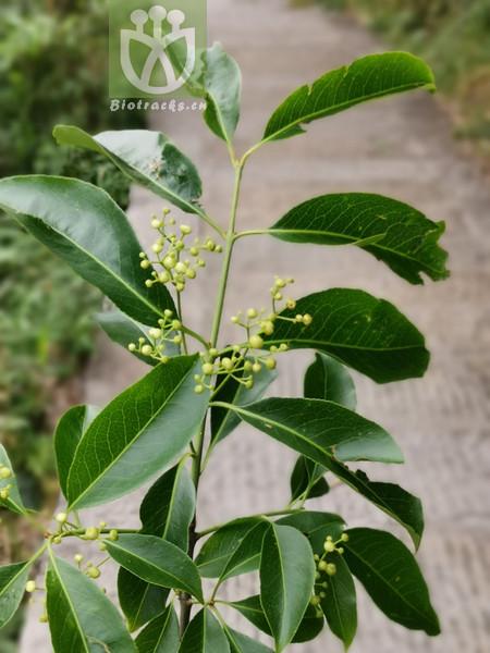 Euonymus carnosus