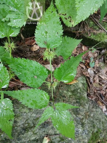 Lamium barbatum