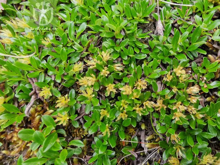 Salix lindleyana