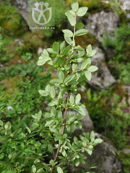 Lonicera angustifolia var. myrtillus
