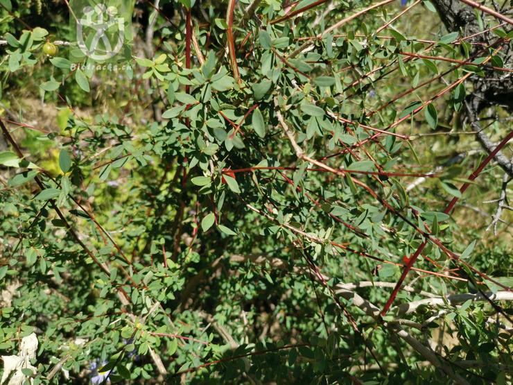 Lonicera angustifolia