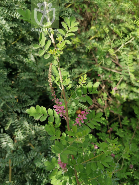 Parathelypteris changbaishanensis