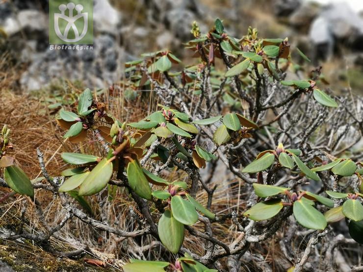 Acacia hirta