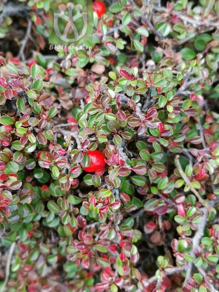 Salix conifera