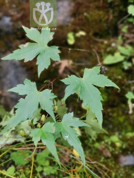 Salix wimmeriana