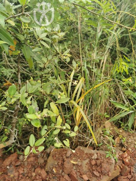 Atalantia bilocularis