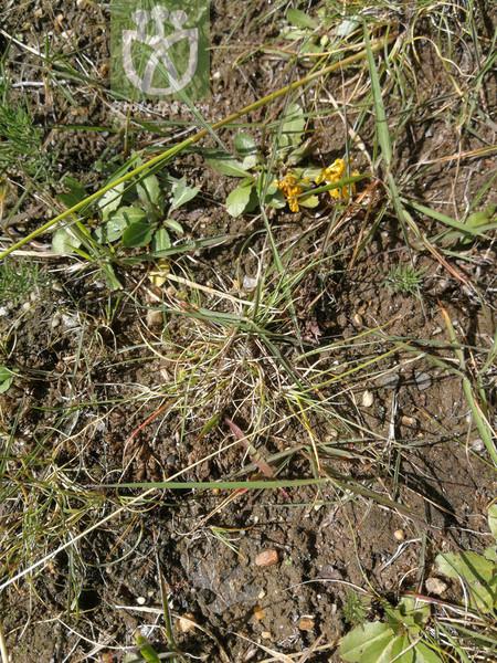 Dracocephalum tanguticum var. tanguticum