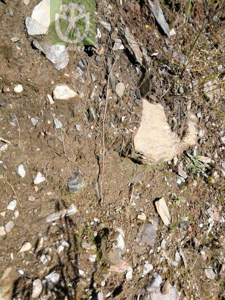 Polygonum viviparum