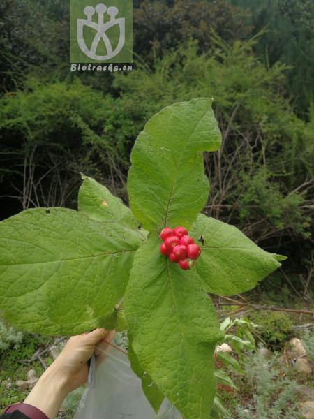 Triosteum pinnatifidum