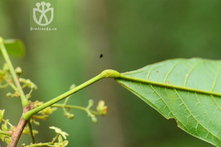Sterculia gengmaensis