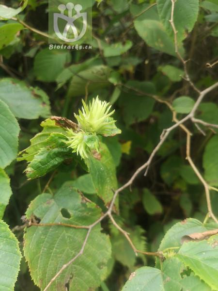 Corylus mongolica