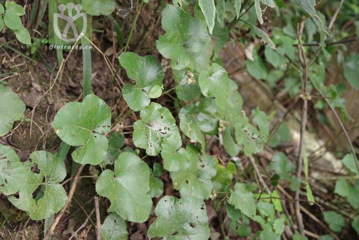 Rubus buergeri