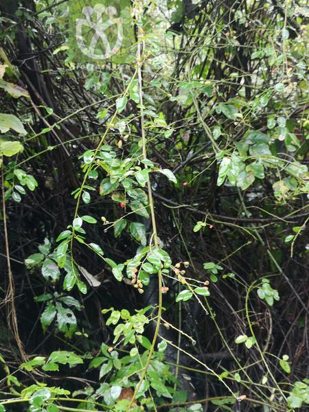 Berchemia yunnanensis