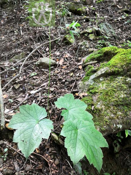 Actaea japonica