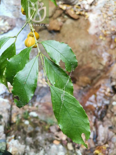 Euonymus nitidus