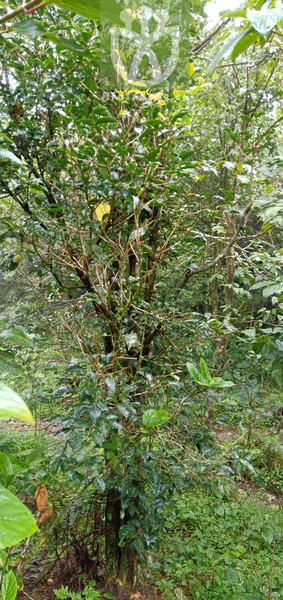 Populus maximowiczii