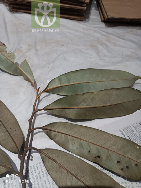 Mentha longifolia