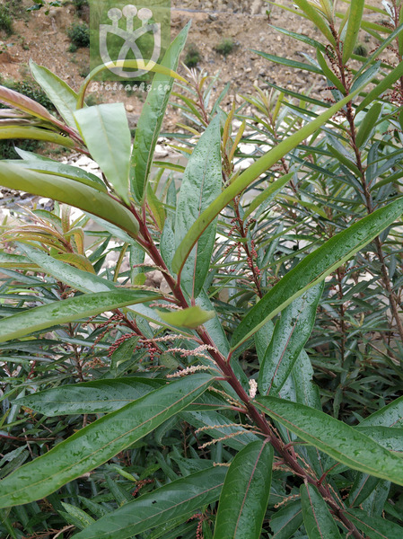 Pleiarina warburgii
