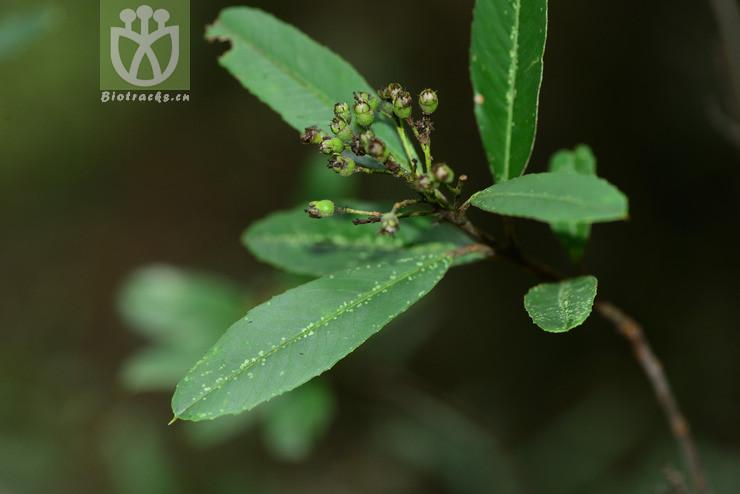 Sorbus pohuashanensis