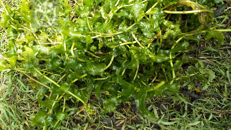 Potamogeton perfoliatus