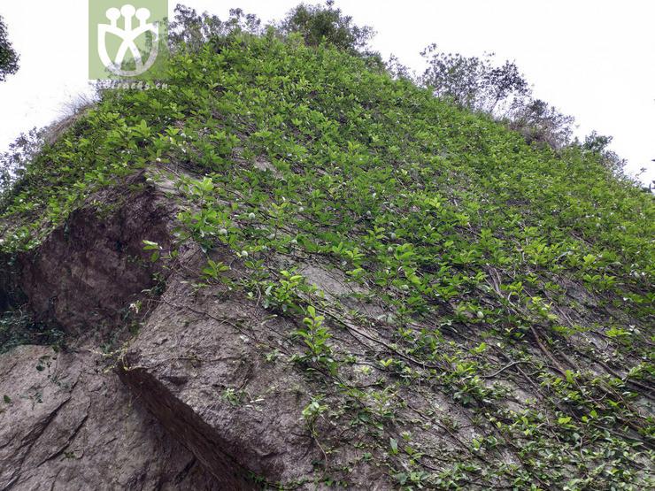 Ficus pumila var. awkeotsang