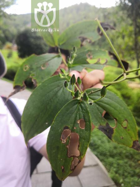 Compsoa macropoda