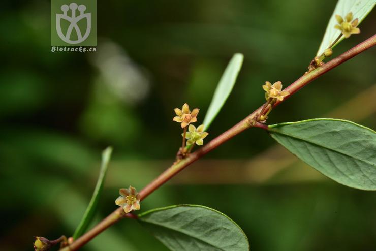 Phyllanthus clarkei