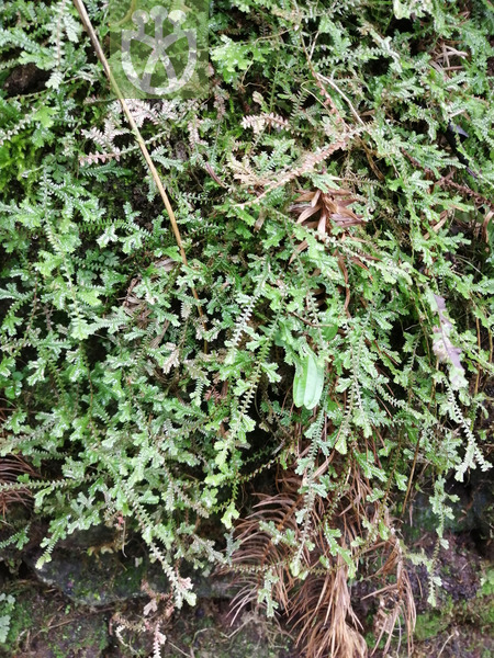 Selaginella remotifolia