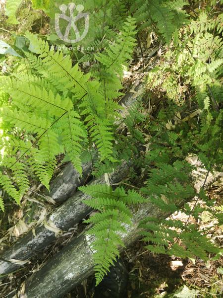 Acystopteris japonica