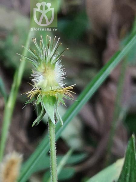 Geum japonicum var. chinense