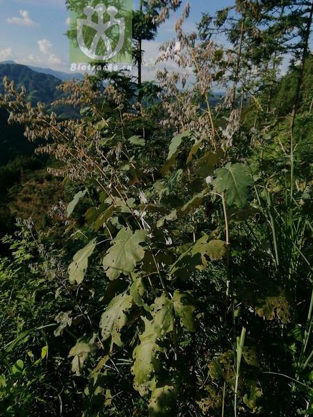 Macleaya yedoensis