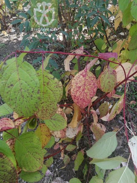 Cornus alba subsp. tatarica