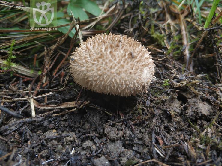 Durio zibethinus