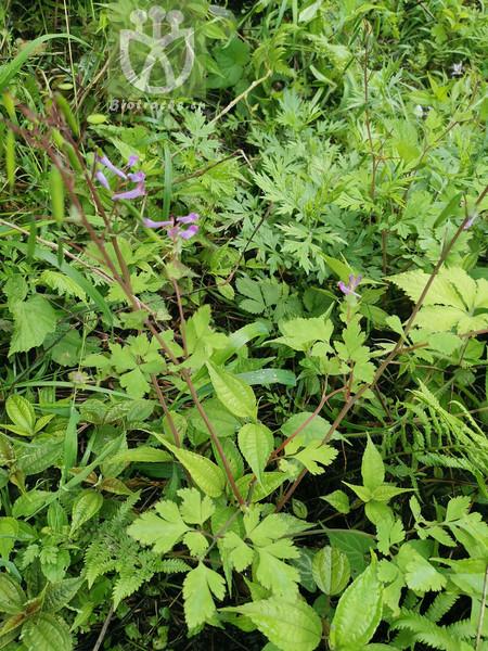 Corydalis incisa