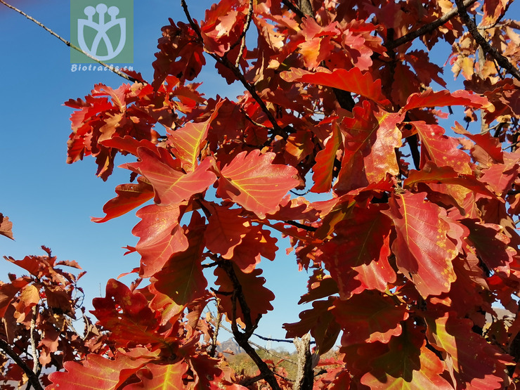 Quercus dentata var. pinnatiloba