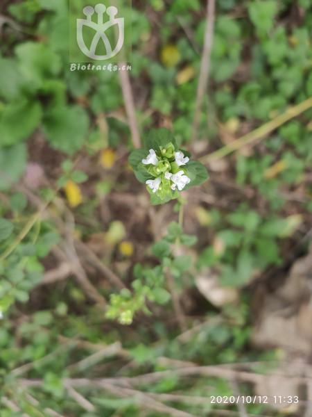 Origanum albiflorum
