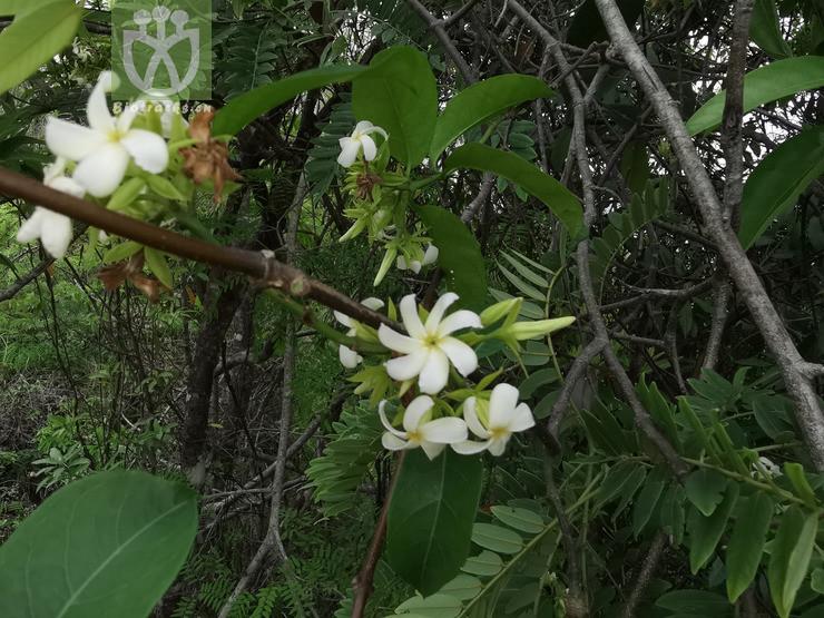 Acacia harveyi