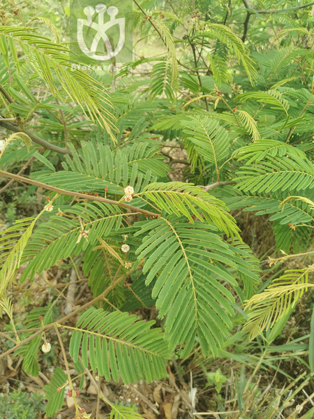 Acacia megaladena var. garrettii