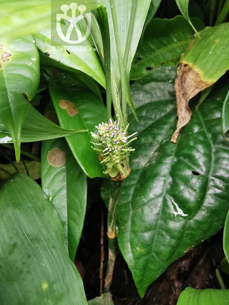Peliosanthes ophiopogonoides