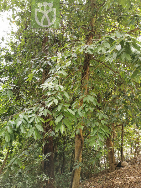 Ficus scandens