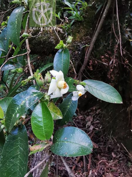 Stewartia crassifolia