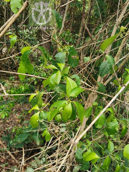 Gymnosporia acuminata