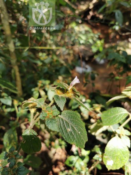 Geum ranunculoides