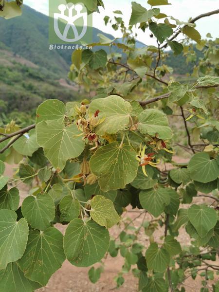 Eriolaena spectabilis