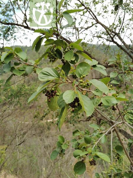 Phlomis ornata